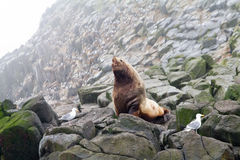 The Northern sea Lion (Steller sea lion). Male of the Northern sea lion (Steller sea lion) (Eumetopias jubatus). Commander Islands Stock Images