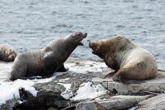 Northern Sea Lion or Steller Sea Lion on Kamchatka Stock Photos