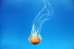 Northern sea nettle. From Baltimore National Aquarium Jelly Invasion exhibit Stock Image
