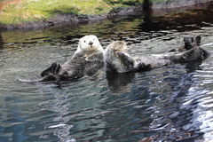 Northern sea otter Stock Photography