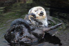 Northern sea otter Stock Image