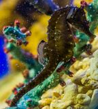 Northern seahorse in macro closeup, fish from the atlantic ocean, Vulnerable animal specie stock image
