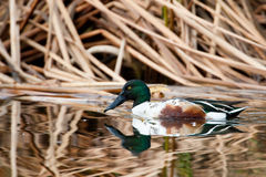 Northern Shoveler Royalty Free Stock Photo