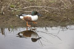 Northern Shoveler Stock Photos