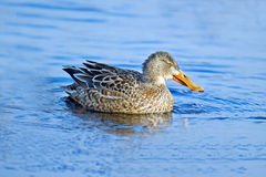 Northern Shoveler Royalty Free Stock Image