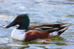 Northern Shoveler. A body shot of a Northern Shoveler swimming in a pond Stock Photography