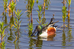 Northern Shoveler. Adult Male Northern Shoveler Duck Feeding In Pond Among Reeds Royalty Free Stock Photo