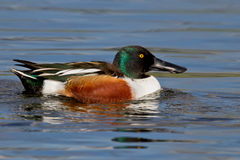 Northern Shoveler (Anas clypeata) Stock Photography