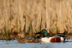 Northern shoveler. Anas clypeata. stock photo