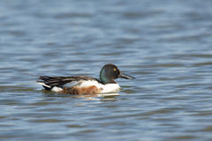 Northern Shoveler Royalty Free Stock Photography