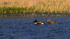 Northern shoveler, anas clypeata, ducks Stock Photography