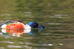 Northern shoveler Stock Image