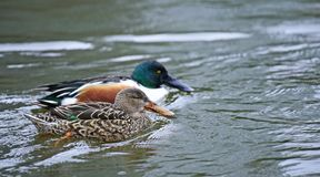 Northern shoveler Anas clypeata male duck in Shinobazuno Pond , Ueno , Japan. royalty free stock photos