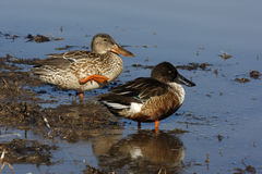Northern shoveler, Anas clypeata Royalty Free Stock Images