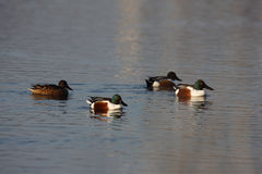 Northern shoveler, Anas clypeata, Royalty Free Stock Photo