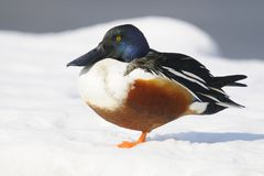 Northern Shoveler (Anas clypeata) Stock Images