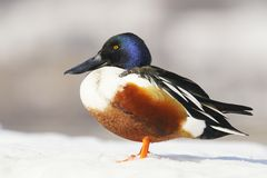 Northern Shoveler (Anas clypeata) Royalty Free Stock Images