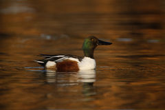 Northern shoveler, Anas clypeata Stock Photo