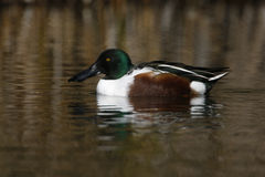 Northern shoveler, Anas clypeata Stock Photography
