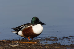 Northern shoveler, Anas clypeata Stock Photos