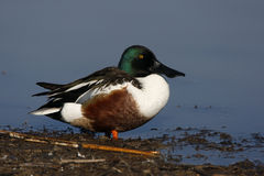 Northern shoveler, Anas clypeata Stock Images