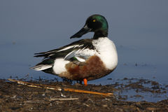Northern shoveler, Anas clypeata Royalty Free Stock Image