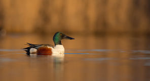 Northern Shoveler - Anas clypeata - male. At a wetland in spring, feeding on a migration stop Royalty Free Stock Photography