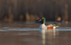 Northern Shoveler - Anas clypeata - male Stock Images