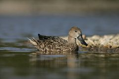 Northern shoveler. Anas clypeata Stock Images