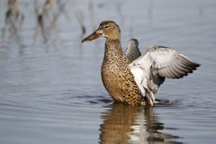 Northern shoveler, Anas clypeata Royalty Free Stock Photography