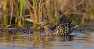 Northern Shoveler - Anas clypeata / Spatula clypeata - female royalty free stock image