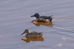 Northern shoveler Anas clypeata swimming in natural water. Northern shoveler Anas clypeata or shoveller can be recognised on its spatulate bill. It is a common Stock Photography