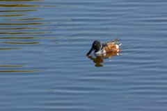 Northern shoveler Anas clypeata swimming in natural water. Northern shoveler Anas clypeata or shoveller can be recognised on its spatulate bill. It is a common Stock Photos