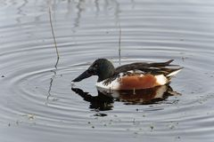 Northern Shoveler. Anas Spatula clypeata Male Duck in water Stock Images