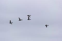 Northern Shoveler birds in flight Stock Photos
