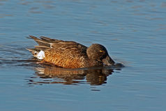 Northern Shoveler Drake Royalty Free Stock Image