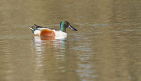 Northern Shoveler Drake Stock Photo