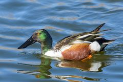 Northern Shoveler Drake In A Calm Lake. Male Northern Shoveler Duck Swimming in a Lake Royalty Free Stock Images