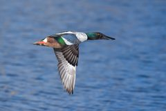 Northern Shoveler Drake In A Calm Lake. Male Northern Shoveler Duck Swimming in a Lake Stock Image
