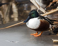 Northern Shoveler duck. Standing on ice Stock Images