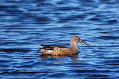Northern Shoveler Duck, Anas clypeata Royalty Free Stock Photos