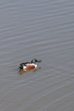 Northern shoveler duck Anas clypeata Royalty Free Stock Photography