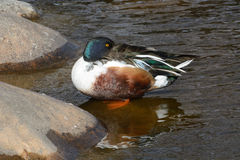 Northern Shoveler Duck Drake Royalty Free Stock Photography