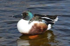 Northern Shoveler Duck Drake Royalty Free Stock Photos