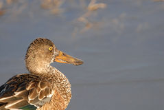 Northern Shoveler Duck Royalty Free Stock Photo