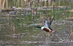 Northern Shoveler Duck in Flight. A Northern Shoveler Duck taking off from a slough Royalty Free Stock Images