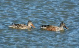 Northern Shoveler duck hen and drake. In molting plumage swimming together Royalty Free Stock Image