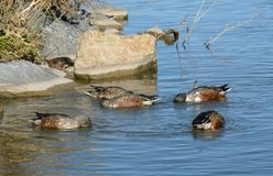 Northern Shoveler duck hen and drakes. With some in molting plumage forming a characteristic feeding circle while swimming together Stock Image