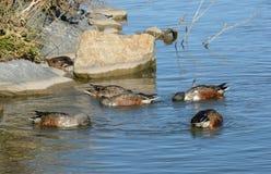 Northern Shoveler duck hen and drakes Stock Image