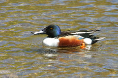 Northern Shoveler Duck Male. In Water Royalty Free Stock Image